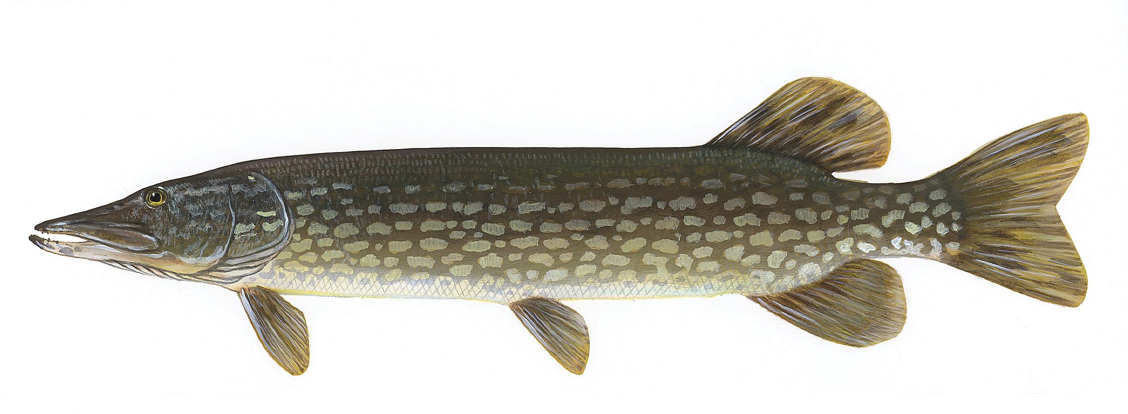 Pike fishing rockview cottages family fishing resort for Pictures of pike fish